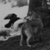 ze_evi: Loup-corbeau (Loup-corbeau)