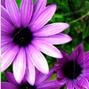 kay_brooke: Two purple flowers against a green background (spring)