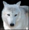 wolf_were: (white wolf)