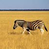 swaldman: A zebra (zebra)