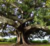 azhure: (Moreton Bay Fig)