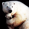 catwalksalone: mother and baby polar bear hugging (polar bear hug)