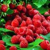 mathsnerd: ((fruit) raspberries)
