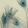 quillori: peacock feathers (stock: peacock feathers)