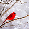mokie: A cardinal sits on an icy winter branch (holiday winter)