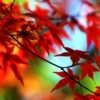 mokie: Vibrant red Japanese maple leaves (holiday death, photolicious, weather fall, holiday fall, outside)