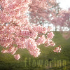 mokie: Cherry trees in full bloom (weather spring, holiday spring, weather good)