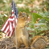 mokie: A patriotic squirrel holding an American flag (politics lol)