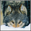 teigh_corvus: ([Misc.] Wolf is Watching)