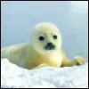 ymfaery: (crantz:  seal)