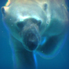 aethel: (polar bear)