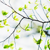 sohotrightnow: A budding tree branch. ([stock] green and growing)