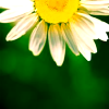 theodosia21: daisy against a green background (daisy against a green background)