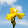 carrieann: yellow iris against blue sky (may flower)