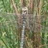 davidcook: (dragonfly, Dragonfly)