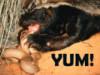 sirriamnis: Honey Badger eating Puff Adder (Honey Badger Adder)