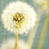 margalo_streussal: dandelion (make a wish)