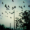 theladyscribe: black birds silhouetted on a blue background (blackbird singing)