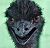 sixolet: (Emu)