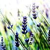 beledibabe: (lavender (50mm))