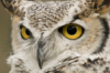 owl_wish: great horned owl with yellow eyes and grey feathers (Default)