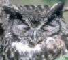 owl_wish: great horned owl with yellow eyes and grey feathers (happy)