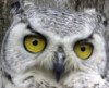 owl_wish: great horned owl with yellow eyes and grey feathers (angry)