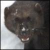breezeshadow: It's a wolverine, hey! (Wolverine)
