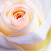 cuteness: (pink rose)