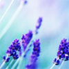dear_prudence: sprigs of lavender (stock: lavender)