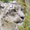 felkes: (snow leopard)
