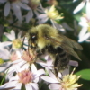 maia: (Bumblebee and Asters)