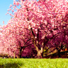 anotherveronica: a tree covered in pink flowers (stock: blossom tree)