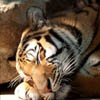 halialkers: A sleepy tiger right profile view (Agati Hevenemi)