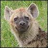halialkers: A smiling hyena (Mahalda)