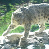 halialkers: A lynx stalking prey, short squat cat on rocks looking to the left (Vishori mahalda)