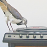 chatananas: fanmix (FANMIX: bird turntable)