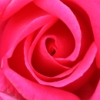 elderwitty: a close-up of the center, swirling petals of a deep pink tea rose (hybrid tea rose (parole) sq)