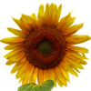 irritus: (sunflower)