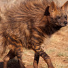 halialkers: Brown hyena. Cat-like body with sloping back, dog-face, looking eft (Vur-akh-khi)