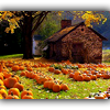 kasihya: [small brown house whose yard is filled with rows of pumpkins] (autumn)