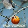devilc: Nux Vomica, the Strychnine tree (Nux Vomica)