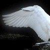 dramatispersonae: (Eliza's Brother - a swan's wing)