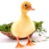 andproper: (duckling)