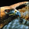notachickenhawk: (bird: hawk)