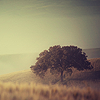 nightdog_barks: In the morning mist, a huge oak tree rises in a field (Field Oak)