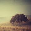 nightdog_barks: In the morning mist, a huge oak tree rises in a field (Field Oak)