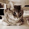 feliscorvus: brodie cat (brodie1)