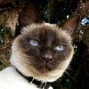 feliscorvus: nikki cat (nikki1)