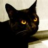 feliscorvus: black cat looking (shadow1)
